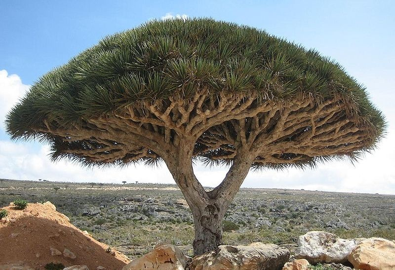 800px-Socotra_dragon_tree