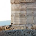 Куропатка у храма Посейдона